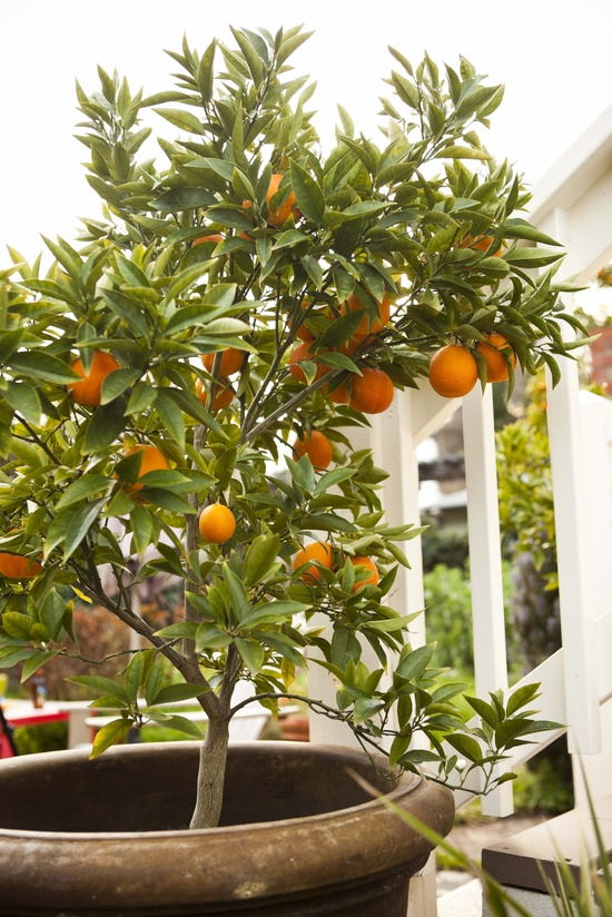 Permaculture & Gardening Classes Pruning and Care of Fruit Trees with Therese Scales by CERES